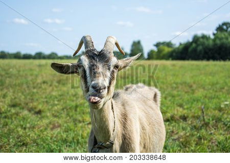 In summer a goat licked at the field teases shows the language.