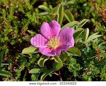 Vegetation of the tundra: Dwarf rose plant in May (Lat. Rosa majalis) among thickets of heather. Coast of the White Sea, Tersky coast, Kola Peninsula