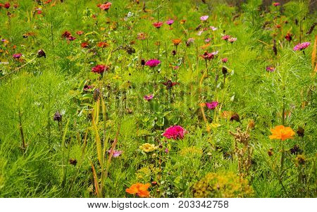 juicy summer meadow with colorful flowers in the sunshine