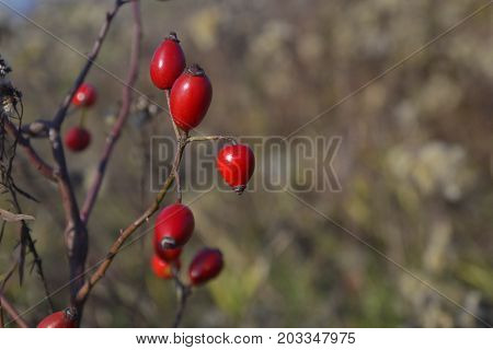 Branch of briar bush with big red berries on blurred background with copy space for your text