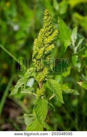 Green weed and medicinal plant Amaranthus retroflexus
