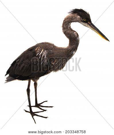 great heron isolated on white background big bird portrait