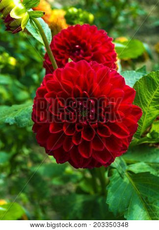 Red Dahlia flower . Beautiful Dahlia Flower