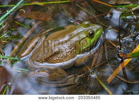 big frog in pond swamp green amphibian environment conservation wild animal lake ecology