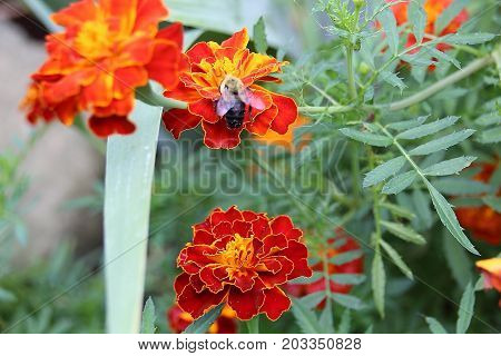 Fuzzy little Bumble Bee collecting pollen from a bright deep orange-red marigold in the spring time