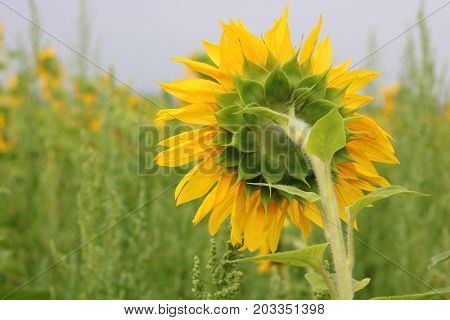 Sunflower field landscape / Sunflowers garden / Sunflower blooming / Sunflower natural background