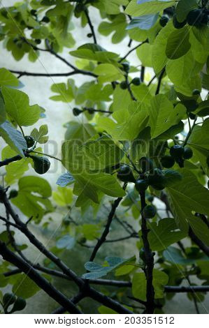 leaves of a fig tree in aosta valley