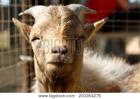 Dwarf Goat looking and winking at you.