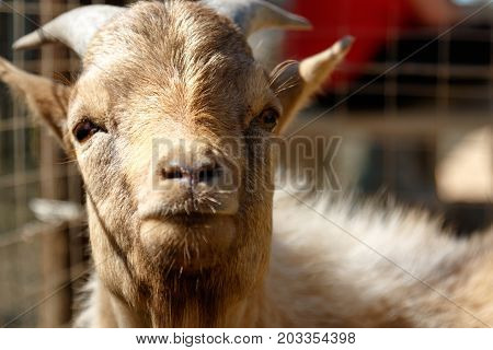 Dwarf Goat standing and looking directly at you