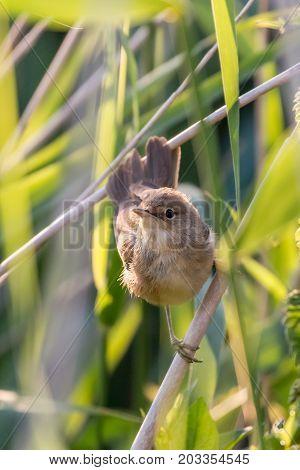 close up of an eurasian reed warbler looking up