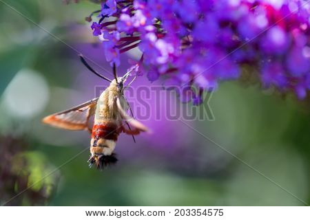 macro of a hummingbird hawk-moth on a flower from the side
