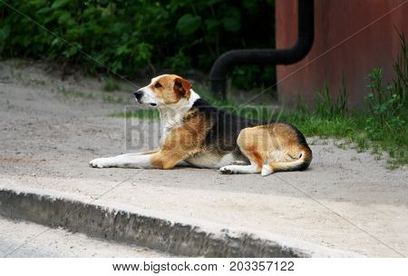 Portrait of a dog. A stray dog lies on the ground and looking to the side.