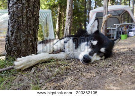 Dog Sleep Alaskan Malamute Laying Pine tree