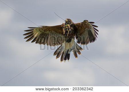 Amazing wildlife. Harris hawk (Parabuteo unicinctus) bird of prey feeding on the wing at falconry display.