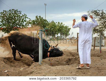 Fujairah, UAE, April 1, 2016: bull awaits its turn to fight in traditional bull fighting in Fujairah, UAE