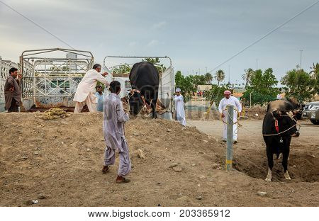 Fujairah, UAE, April 1, 2016: local people bring bulls for traditional bull fighting in Fujairah, UAE