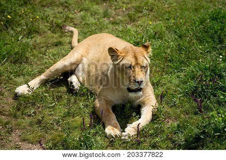 Lioness On Green Grass