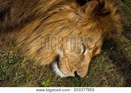 Lion Sitting On The Grass