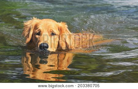 Wet Golden Retriever Dog Swimming On Waters Of A Lake