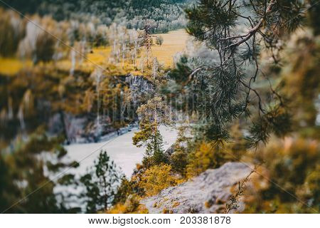 True tilt-shift shooting of autumn landscape in Altai mountains Russia: single pine tree near Katun river electric main and meadow and hill in background conifer branch with needles in foreground