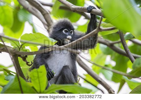 Dusky leaf monkey / spectacled leaf monkey / langur is sitting among leaves in a tree in the wild. Location: Perhentian island Malaysia.