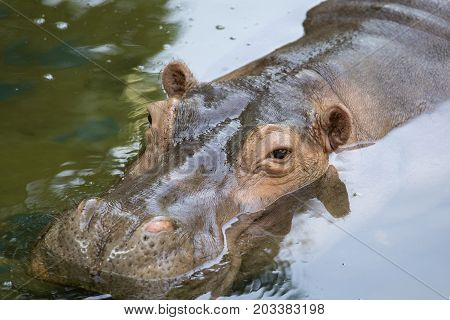Close up hippopotamus or hippo mostly herbivorous mammal in water