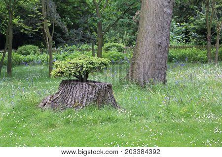 A bonsai grows in a hollow of hemp in the park.