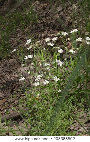 Stellaria Holostea Small Bush On The Dark Forest Glade