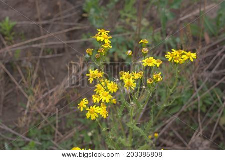 Yellow Camomille Flowers Closeup