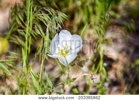 A single white wildflower in spring mountains
