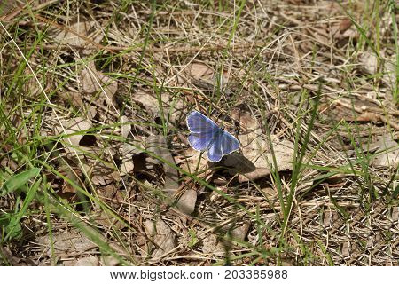 Polyommatus Amandus Blue Male Butterfly With Open Wings