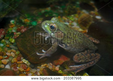 green frog wildlife aquatic animal water amphibian