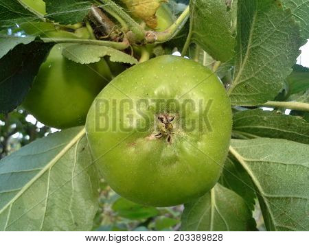 Green Bramley Apple Growing on a Tree
