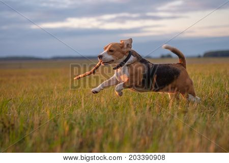 Beagle dog fun runs and plays with a stick on a walk on an autumn evening