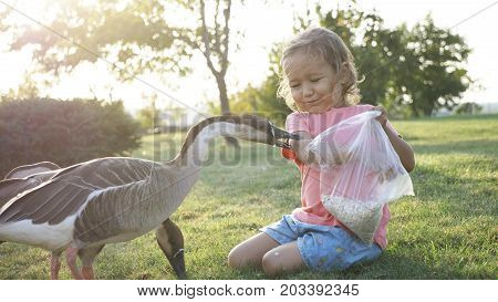 Cute little girl feeding wild goose from palm at green meadow but goose attack and plucked her. Child with dander geese