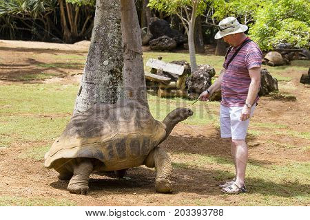 LA VANILLE NATURE PARK MAURITIUS - MARCH 08 2017 : Unknown man feeds a giant turtle in La Vanille Nature Park island Mauritius Close up