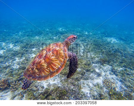 Sea turtle in blue water. Big green sea turtle closeup. Endangered species of tropical coral reef. Tortoise photo. Tropic seashore ecosystem. Summer travel seaside activity. Snorkeling with sea turtle