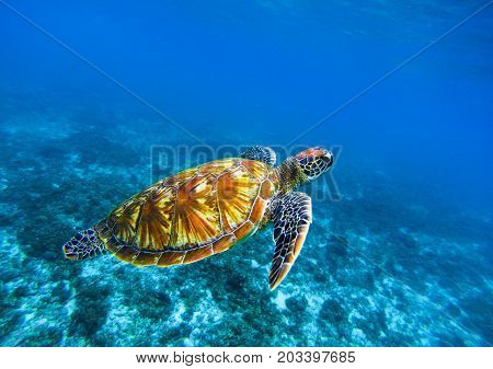 Sea turtle in deep blue seawater. Green sea turtle closeup. Tropical coral reef fauna. Tortoise underwater photo. Seashore ecosystem. Summer travel seaside activity. Snorkeling with sea turtle