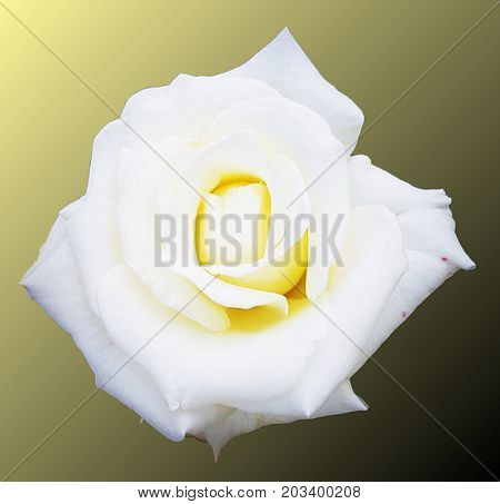 beautiful and delicate white rose on green background