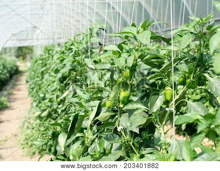 Green sweet peppers growing in the greenhouse