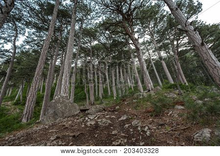 Coniferous Forest In The Mountains, The Trunks Of Pine Trees, Tall Trees