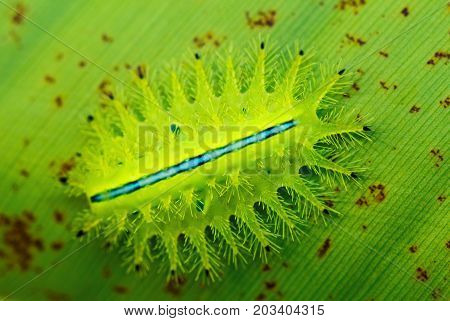 Green caterpillar on tropical leaf. Macro photo of slug caterpillar. Green-crowned caterpillar of Limacodidae moth. Tropical insect macrophoto. Tropical garden vermin. Dangerous exotic insect closeup