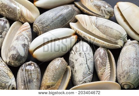 White cowrie shell photo texture. Nautical flat lay background. Pale sea shell with grey ornament. White seashell closeup. Summer vacation memories. Exotic seashore finding. Beach vacation concept