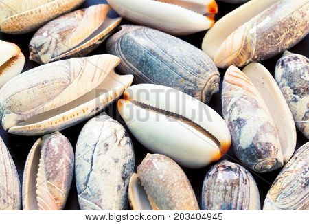 Pale grey sea shells background. Cowrie shells closeup. Sea shells banner template. Tropical island seashore findings. Exotic island beach texture. Warm sea nature detail. Marine shell cover top view.