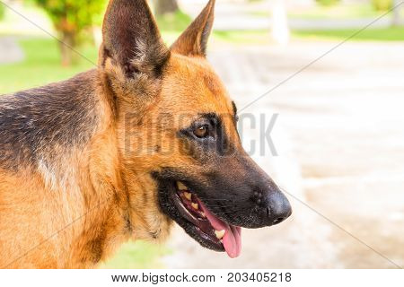 Young shepherd dog close-up. German dog on walk in park. German shepherd in sunny hot summer day. Domestic animal portrait. Friendly pet with loyal character. Protective animal. German dog outdoors