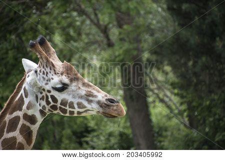 Close-up of Kordofan giraffe or Giraffa camelopardalis antiquorum also known as the Central African giraffe
