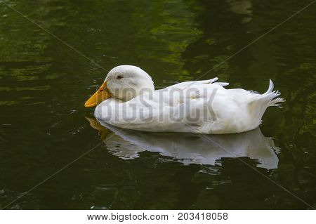 White duck in pond or lake with water background close up