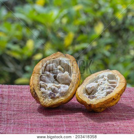 Cocoa bean cocoa fruit close up. Island Bali Indonesia