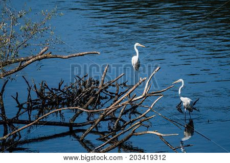Two Great White Egrets Sharing A Pile Of Drift Wood