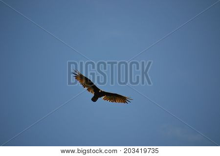 vulture in flight  on a sunny day